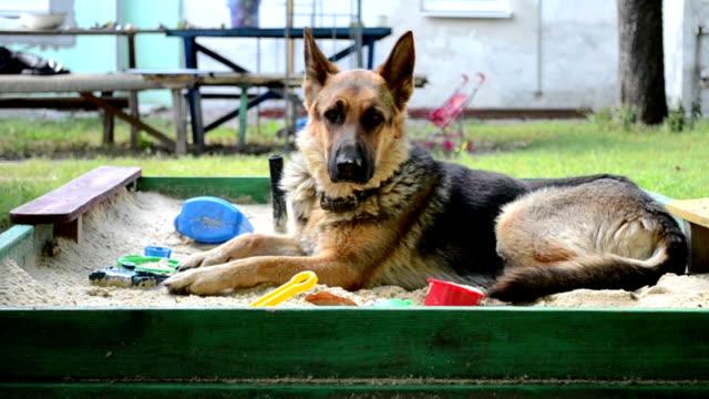 adult dog German shepherd sitting on the playground video