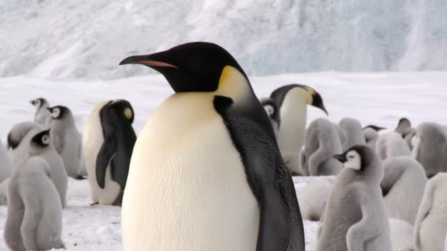 dorosłych pingwin cesarski, zbliżenie - antarktyda filmów i materiałów b-roll