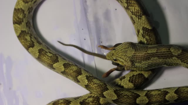 Adult female corn snake eating a rat video