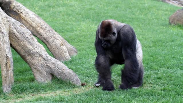 erwachsenen gorilla - gorilla stock-videos und b-roll-filmmaterial