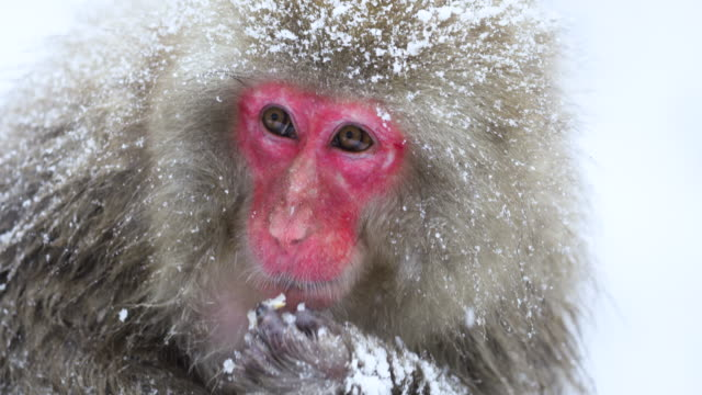 yetişkin japon kar maymunu kar yağarken yemek yiyor. nakano, japonya. - japon makak maymunu stok videoları ve detay görüntü çekimi