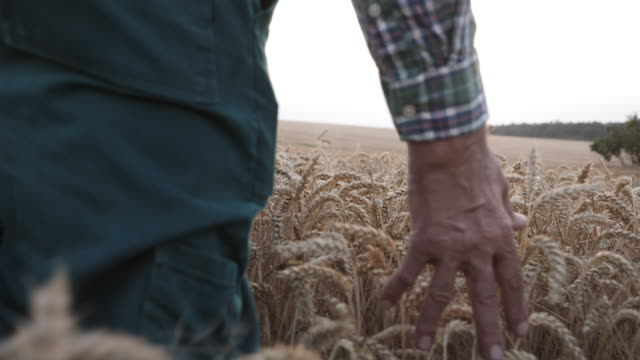 Adult Male Farmer is walking and touching the wheat