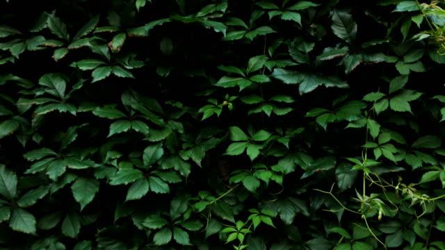 adult man hiding behind a bush - куст стоковые видео и кадры b-roll