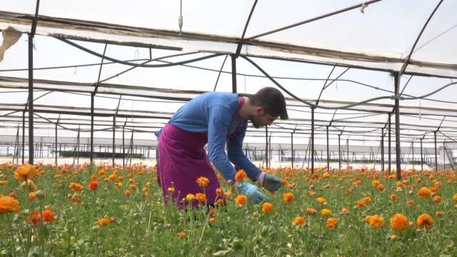 Adult Man Working In Modern Cut Flower Greenhouse video