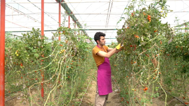 Adult Man Working In Modern Tomato Greenhouse video