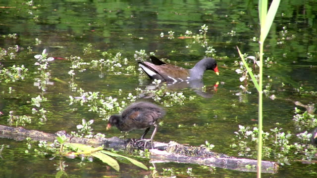Adult moorhen and chicks feeding An adult moorhen and her chicks foraging for food in weed strewn water.  duckweed stock videos & royalty-free footage