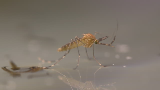 Adult Mosquito on water video