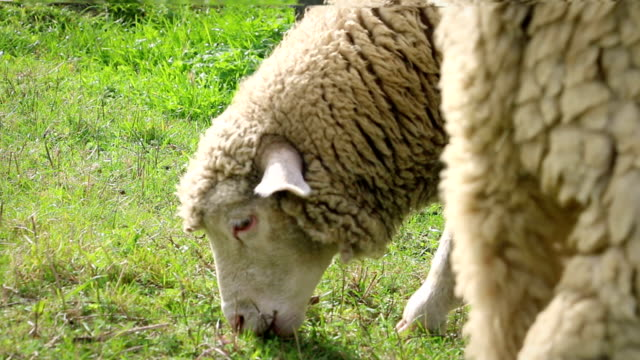 Adult sheeps eating grass in meadow, side view, detail video