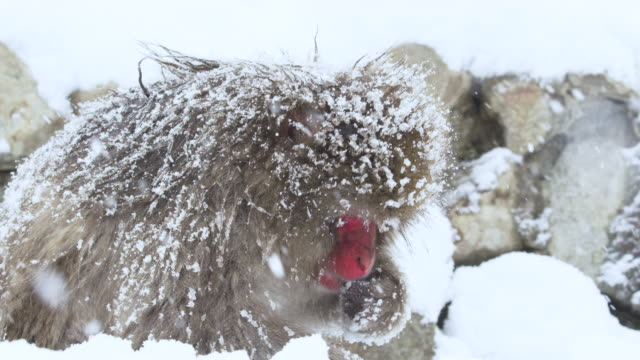Adult snow monkey forages for food. Japanese macaques in wild. Snowing, slow motion. RED Camera. Adult snow monkey forages for food. Japanese macaques in wild. Snowing, slow motion. RED Camera. japanese macaque stock videos & royalty-free footage