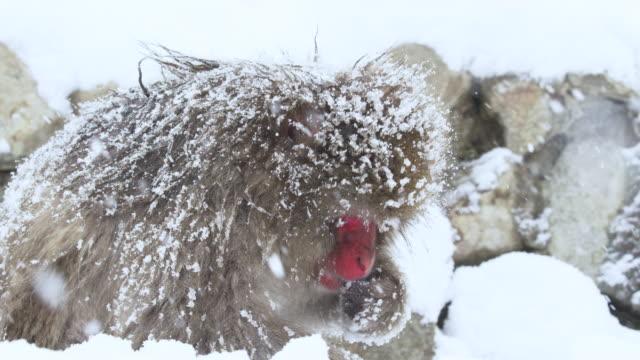 yetişkin kar maymunu yiyecek arar. vahşi doğada japon makakları. kar yağıyor, yavaş çekim. kirmizi kamera. - japon makak maymunu stok videoları ve detay görüntü çekimi