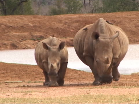 Adult w/young White Rhino pair in Africa, cautious. video