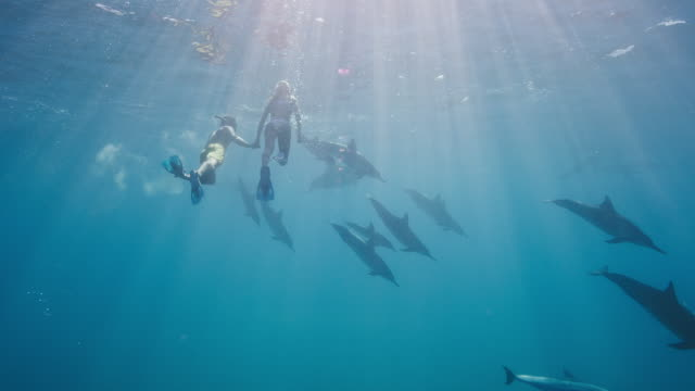 Adventurous couple swimming with dolphins Adventurous couple swimming with dolphins in the ocean, amazing snorkeling adventure dolphin stock videos & royalty-free footage