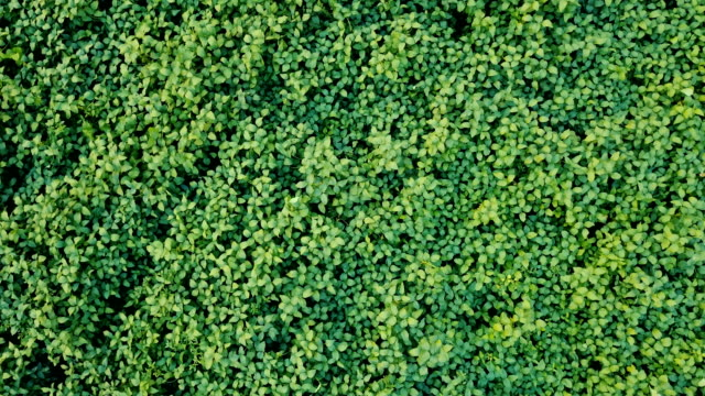 Aerail view from drone of soybean field plantation for agriculture and harvest concept