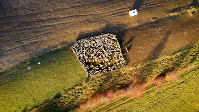 Aerial 4k drone video of sheep in sheepfold in the mountains. Raising in altitude, zoom out in soft morning lights