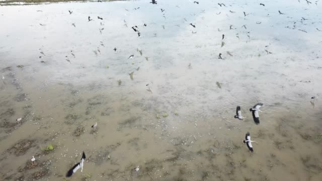 aerial asian openbill fly together - arto inferiore animale video stock e b–roll