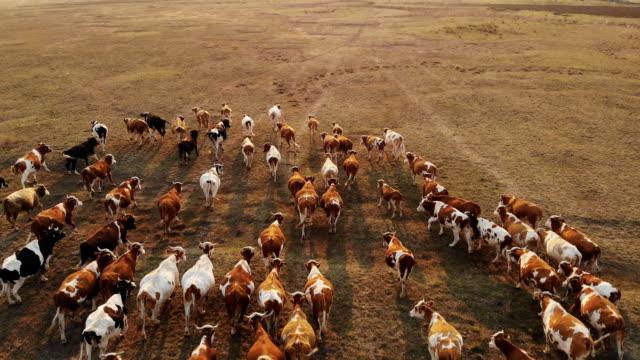 vídeos de stock e filmes b-roll de aerial cattle in the pasture - gado animal doméstico