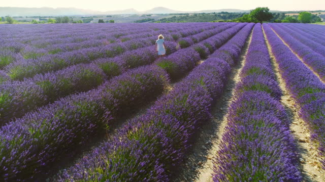 Aerial Cinematic Drone View of Woman Walking in Colorful Lavender Fields on a Sunny Day with Clear Blue Skies. Blooming Purple Flowers. Top View over the Countryside.