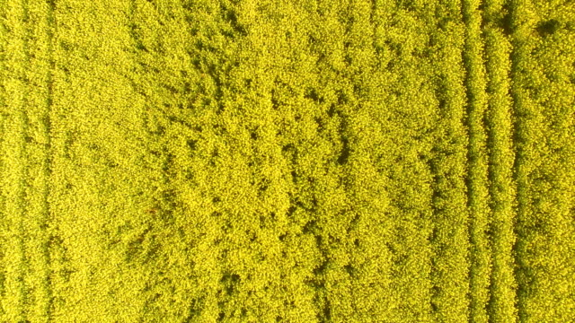 Aerial close up view of blooming rape fields video