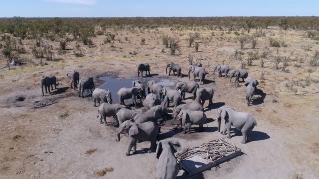 4K Aerial close-up fly over view of a herd of elephants drinking infront of the underground photography hide at Hyena Pan, Khwai Private Reserve, Botswana