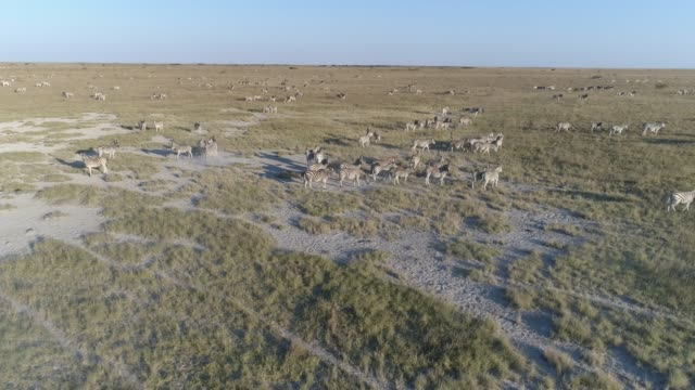 Aerial close-up panning view of an extremely large group of zebra migrating across the vast Makgadikgadi grasslands, Botswana Aerial close-up panning view of an extremely large group of zebra migrating across the vast Makgadikgadi grasslands, Botswana botswana stock videos & royalty-free footage