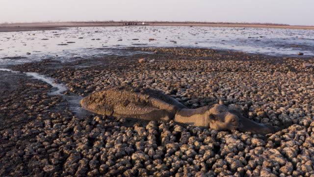 stockvideo's en b-roll-footage met antenne close-up van een wanhopige nijlpaard vast in dikke modder in het opdrogen van het meer ngami als gevolg van droogte en klimaatverandering, okavango delta, botswana - dierlijk bot
