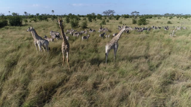 Aerial close-up view of zebra and giraffe in the grasslands of the Okavango Delta video