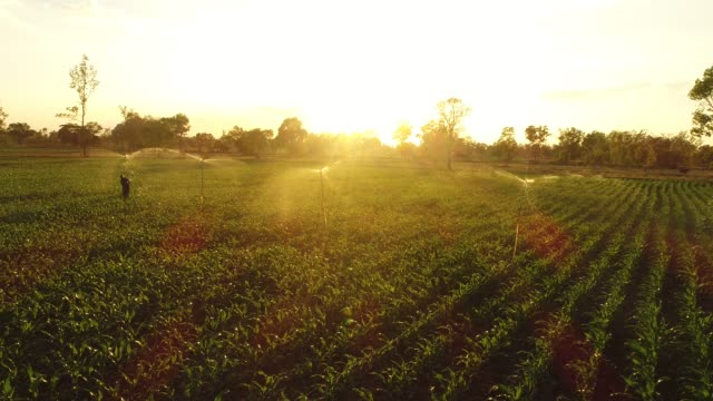 Aerial corn field at sunset corn field at sunset watering stock videos & royalty-free footage