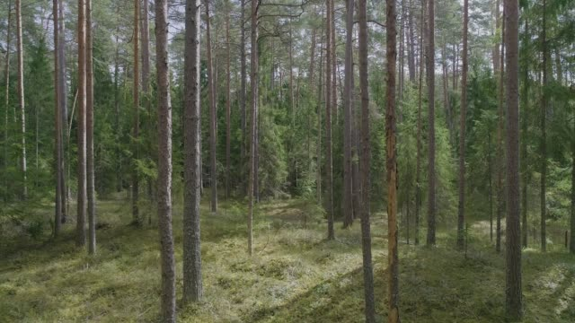 Aerial dolly shot of pine and spruce tree forest video
