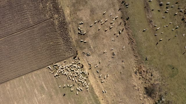 Aerial drone 4k view of herd of sheep grazing in a meadow in the spring
