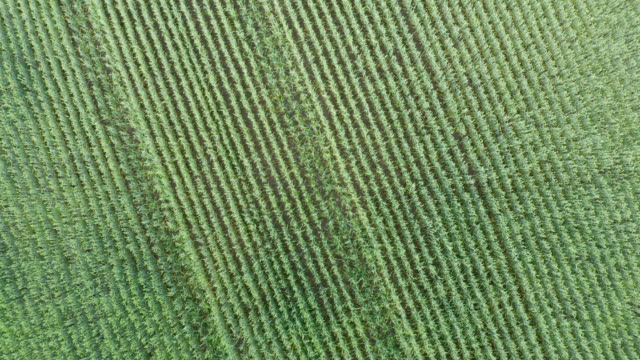 Aerial drone flying move away from wheat field rotating in circle video