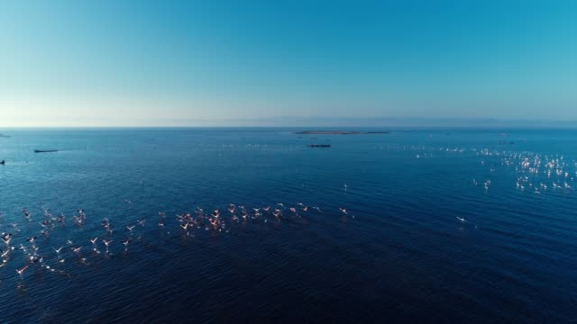 Aerial - Drone - Flying near a large flock of pink flamingos video
