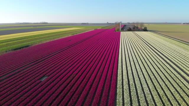 オランダの美しい色のチューリップ畑の上を飛ぶ空中ドローン。花を持つ球根農業畑のドローンビュー - キューケンホフ公園点の映像素材/bロール