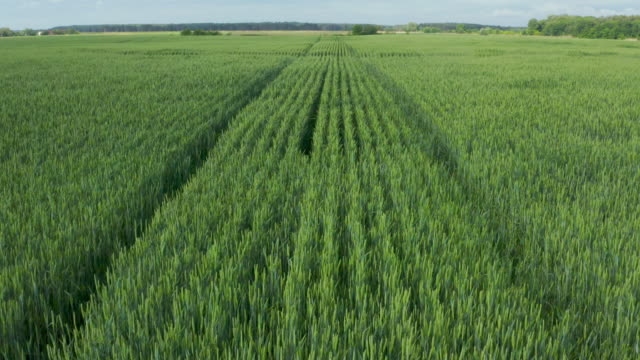 Aerial drone flying over close to surface field of wheat and countryside at sunny cloudy spring time video