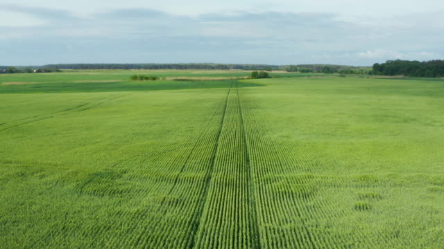 Aerial drone flying over field of winter wheat and countryside at sunny cloudy spring time video