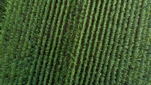Aerial drone flying take of from wheat field rotating in circle video