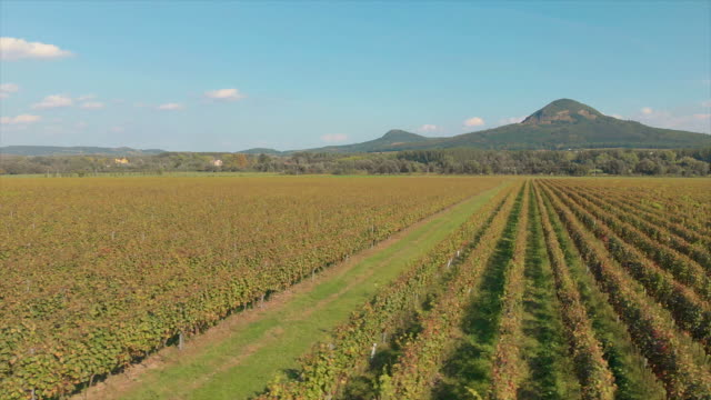 Aerial drone footage from a long grape rows in Hungary near the lake Balato Aerial drone footage from a long grape rows in Hungary near the lake Balato hungary stock videos & royalty-free footage