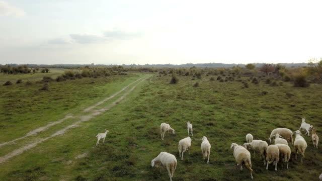 羊、豚、牛、草の土地の空中ドローン映像 - 野生動物旅行点の映像素材/bロール