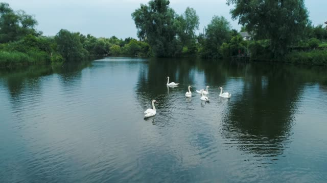 Aerial drone footage. Swans swimming in a lake.
