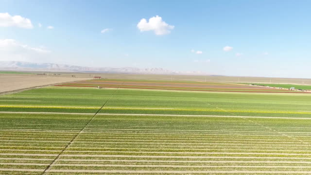 Aerial drone moving forward above flower field beautiful colors amazing crisp blue sky background springtime in Turkey Konya flower farms. Tulips flowers growing at field Full HD, 1080p video