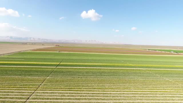 antenn drönare framåt över ängen vackra färger häpnadsväckande skarpa blå himmel bakgrund springtime i turkiet konya blomma gårdar. tulpaner blommor växer på fält full hd, 1080p - blomstermarknad bildbanksvideor och videomaterial från bakom kulisserna