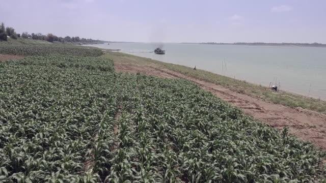 ショット空中ドローン: 川岸沿いのトウモロコシ畑に戻って飛行 - 土手点の映像素材/bロール