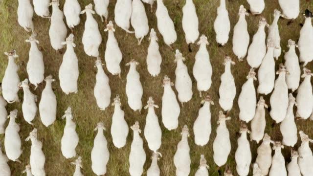 vidéos et rushes de drone aérien a volé au-dessus d'un troupeau de moutons frôlant dans une prairie verte écologiquement propre - mouton