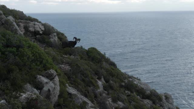 colpo di drone aereo di una capra di montagna in piedi su una scogliera - mammifero video stock e b–roll