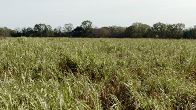 aerial drone shot of a sugar cane field in southern louisiana on a sunny day - canna da zucchero video stock e b–roll