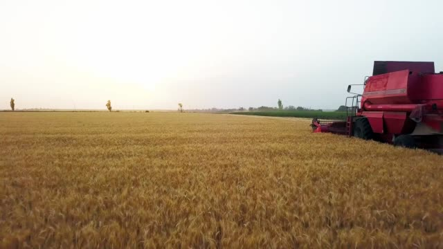 Aerial drone view: combine harvester working in wheat field on sunset. Harvesting machine driver cutting crop in farmland. Organic farming. Agriculture theme, harvesting season. Quadcopter video Aerial drone view: combine harvester working in wheat field on sunset. Harvesting machine driver cutting crop in farmland. Organic farming. Agriculture theme, a harvesting season. Quadcopter video. rye grain stock videos & royalty-free footage