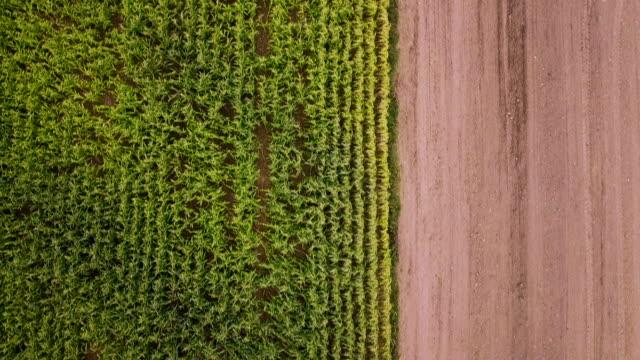 aerial drone view: corn crop - stelo video stock e b–roll
