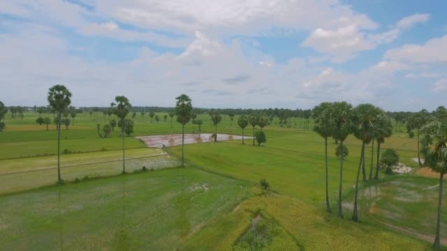 Aerial drone view : flying back down sugar palm trees and rice fields Aerial drone view : flying back down sugar palm trees and rice fields back to back stock videos & royalty-free footage