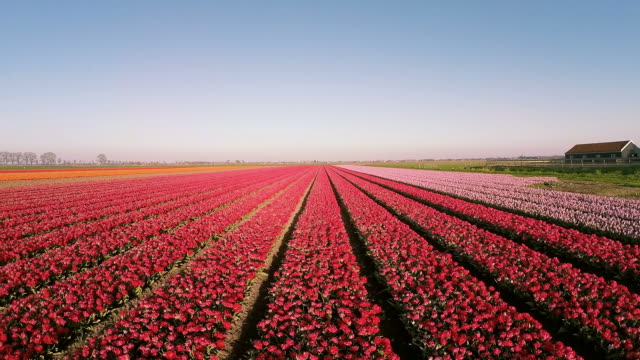 Aerial drone view of Dutch tulip fields video