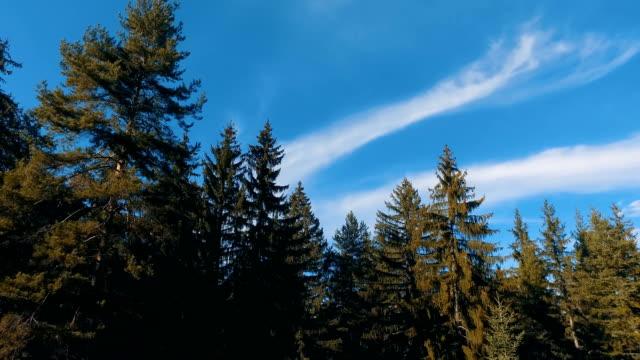 aerial drone view of flight over forest pine tree tops - wood texture filmów i materiałów b-roll