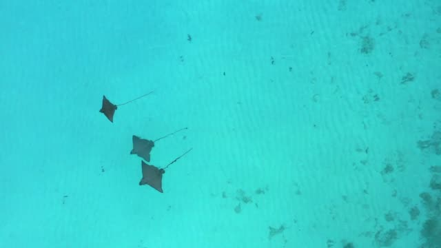 vídeos de stock e filmes b-roll de aerial drone view of stringrays in shallow water in the maldives - uge